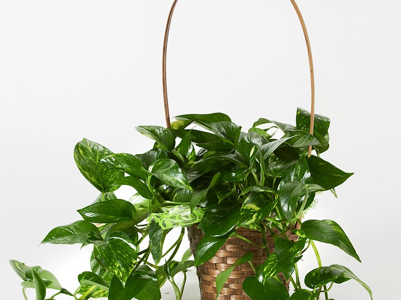 Golden Pothos Basket